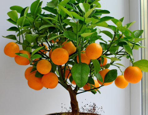 burnblognet-Fruit-citrus-mandarin-tree